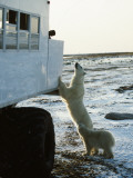 Polar Bear Inspects Tundra Buggy