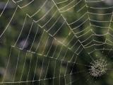 Dew Fills Web of an Orb Weaver Spider