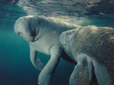 Female manatee and calf swim underwater, Crystal River, Florida
