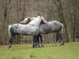 New Hampshire, North Conway, Two Dutch Draft Horses