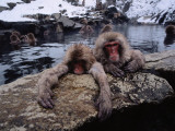 Japanese Macaque/Snow Monkeys are Submersed in Water While Clinging to Rocks