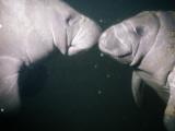 West Indian Manatees (Trichechus Manatus)