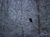 Bald Eagle Among Snow Covered Trees