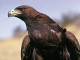 Detail of Head and Shoulders of Golden Eagle
