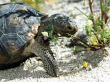 Desert Tortoise Eating Flowers