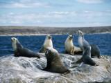 Australian Sea Lion Colony