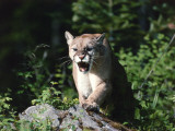 Mountain lion stands on rock and snarls, Montana