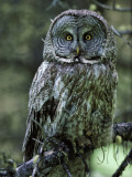 Detail of Great Gray Owl Perched on Tree Branch
