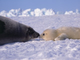 Mother and Newborn Harp Seal Pup