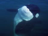 Underwater Shot of Killer Whale