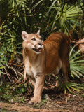 Mountain Lion Walks Through Leaves