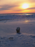 Polar Bear and Arctic Fox Meet at Sunset