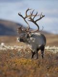 A Male Reindeer in Norway