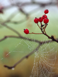 Red Berries and a Spider Web