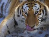 China, Heilongjiang Province, Siberian Tiger, Close Up