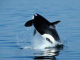 Killer Whale Female Breaching