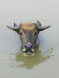 China, Guangxi Province, Yangshuo, Water Buffalo in the River
