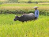 China, Guangxi Province, Yangshuo, Farmer with Water Buffaloes in the Farmland