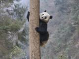 China, Sichuan Province, Wolong, Giant Panda Climb on Tree