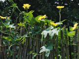 China, Anhui Province, Squash Flowers with Bamboo Fence