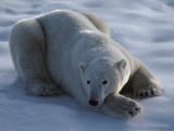 Polar Bear Lies on Ice