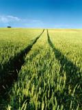 A Rut in a Wheat Field