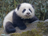China, Sichuan Province, Wolong, 5-Month-Old Panda Cub in the Forest