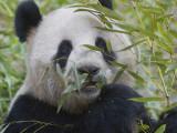 China, Sichuan Province, Wolong, Giant Panda Eating Bamboo, Close Up