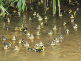 China, Yunnan Province, Ducklings in the River