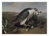 Faucon devorant un oiseau.