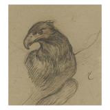 Etude d'un vautour