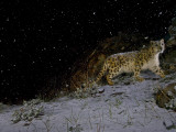 A remote camera captures a snow leopard in the falling snow.