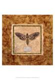 Manduca Moth