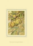 The Horse Chestnut Fairy
