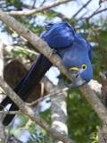 Hyacinth Macaw, Anodorhynchus Hyacinthinus, Perched on a Tree Branch