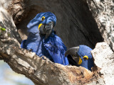 Pair of Hyacinthine Macaws, Anodorhynchus Hyacinthinus, in a Tree