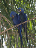 Pair of Hyacinth Macaws, Anodorhynchus Hyacinthinus, in a Tree