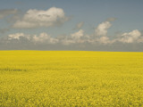 Field of Canola Plants with Yellow Flowers Shot in the Grasslands