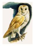 Barn Owl, Illustration from 'Peeps at Nature', 1963