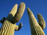 Saguaro Cacti (Carnegiea Gigantea)