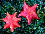 Bat Starfish at Low Tide