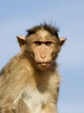 Bonnet Macaque, Badami Caves