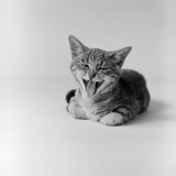 Kitten Lying Down, Yawning