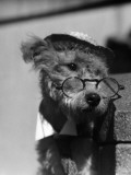 Terrier Dog Wearing Spectacles and Hat