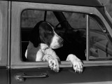 Dog Sitting in Car, Leaning Out of Passenger Window