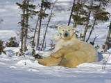 Polar Bear Cub Playing With a Watchful Mother, Wapusk National Park, Manitoba, Canada