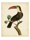 Nodder Tropical Bird III