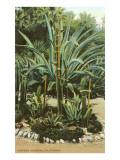 Agave and Cactus, Huntington Gardens