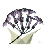 Purple Stephanotis Close Up