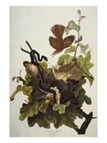 Ferruginous Thrush. Brown Thrasher (Toxostoma Rufum), Plate Cxvi, from 'The Birds of America'
